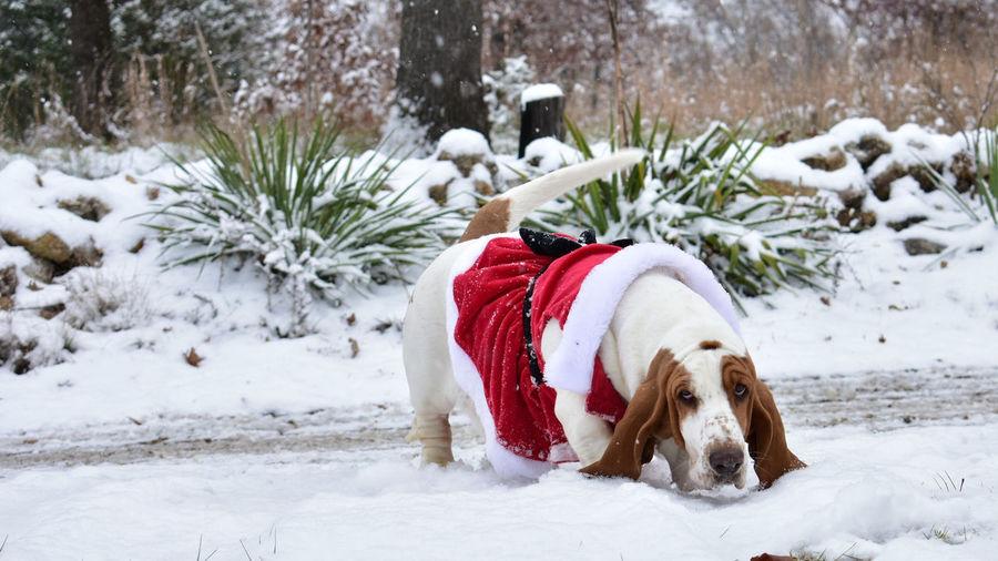 Dog on snow covered christmas tree