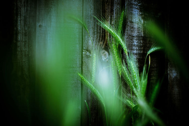 Beauty In Nature Close-up Corn Day Fence Flora Grass Green Green Color Green Crops Growing Growth Indoors  Nature No People Plant Wheat