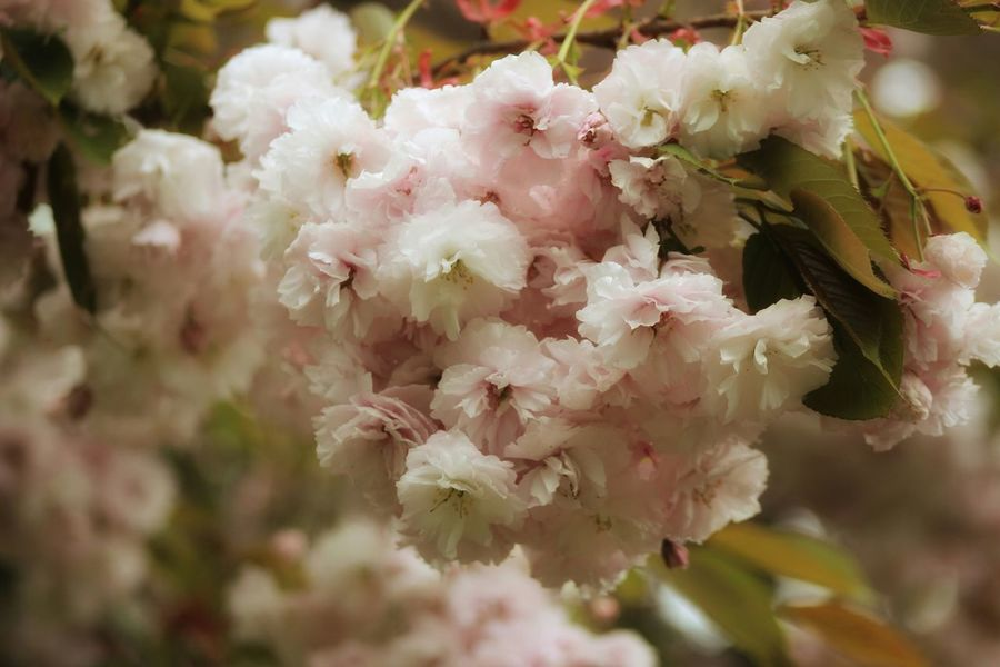 Cherry Blossom Kersenbloesem Lovelynatureshots Streamzoofriends Streamzoofamily Bns_nature