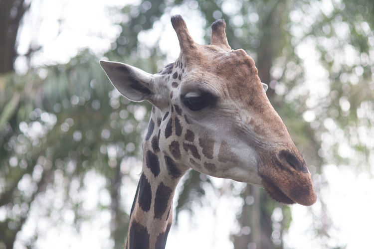 Close-up of a giraffe against blurred background