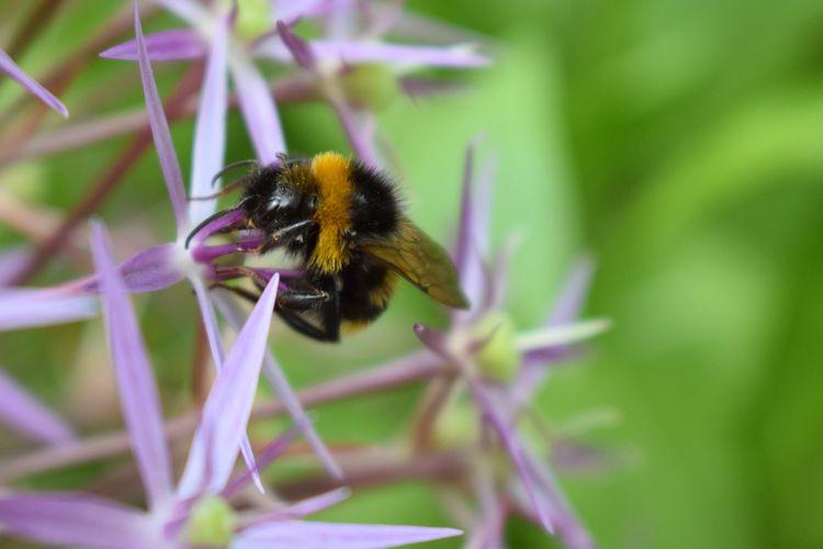 Bee Bumblebee Bumblebee On Flower Star Flower Flowers