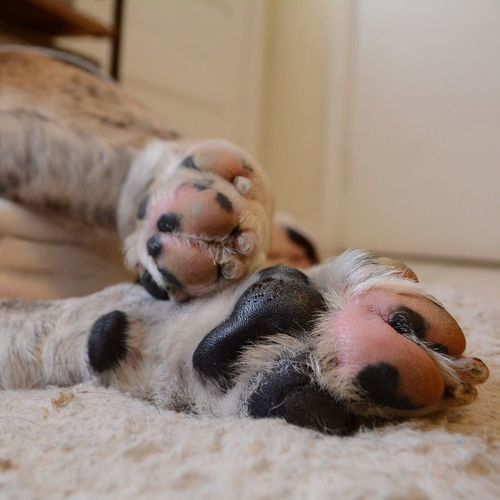 Paws Cute Animal Themes Domestic Animals Indoors  Dog Pets Relaxation Pet Photography  Dogphotography Bulldog English Bulldog Bullies Doglover Ilovemydog Paw Prints