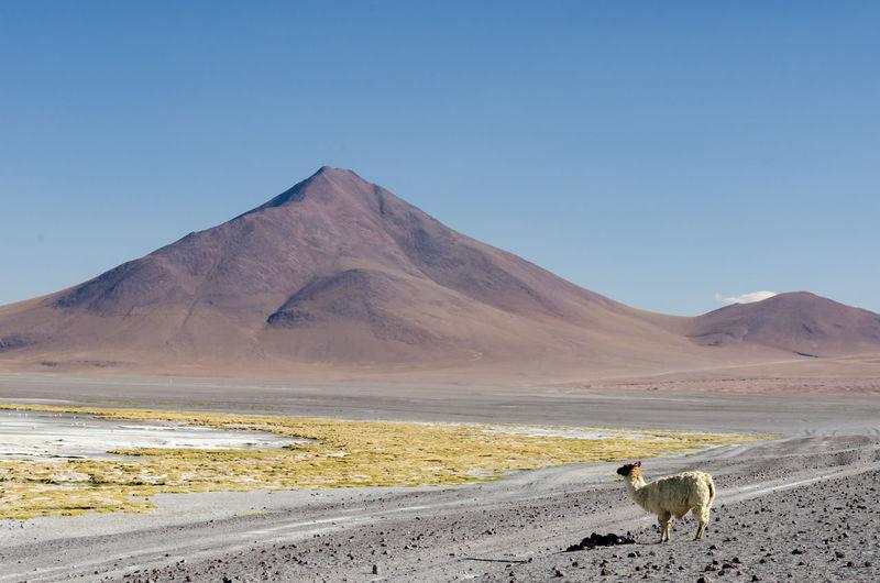 Llama on desert against clear sky