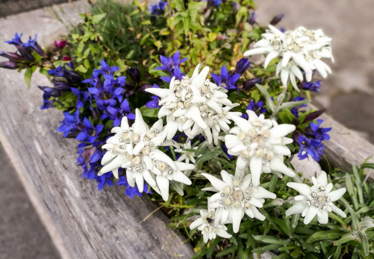 Flower Fragility Nature No People Petal Plant Flower Head Day Beauty In Nature Close-up Outdoors Purple High Angle View Freshness Springtime Blue Growth Mountain Alpine Stars Edelweiss Beauty Beauty In Nature Freshness Summer Growth
