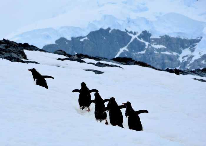 Animals In The Wild Antarctic Antarctic Peninsula Antarctica Chinstrap Penguin Frozen Gentoo Penguin Gentoo Penguins Glacier Ice Iceberg Icebergs Penguin Penguin Colony Penguins Snow Winter Landscape Winter Wonderland EyeEmNewHere