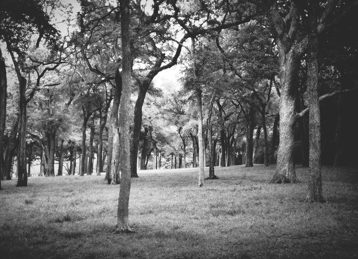 Tree Grove - White Rock Lake Black & White Trees