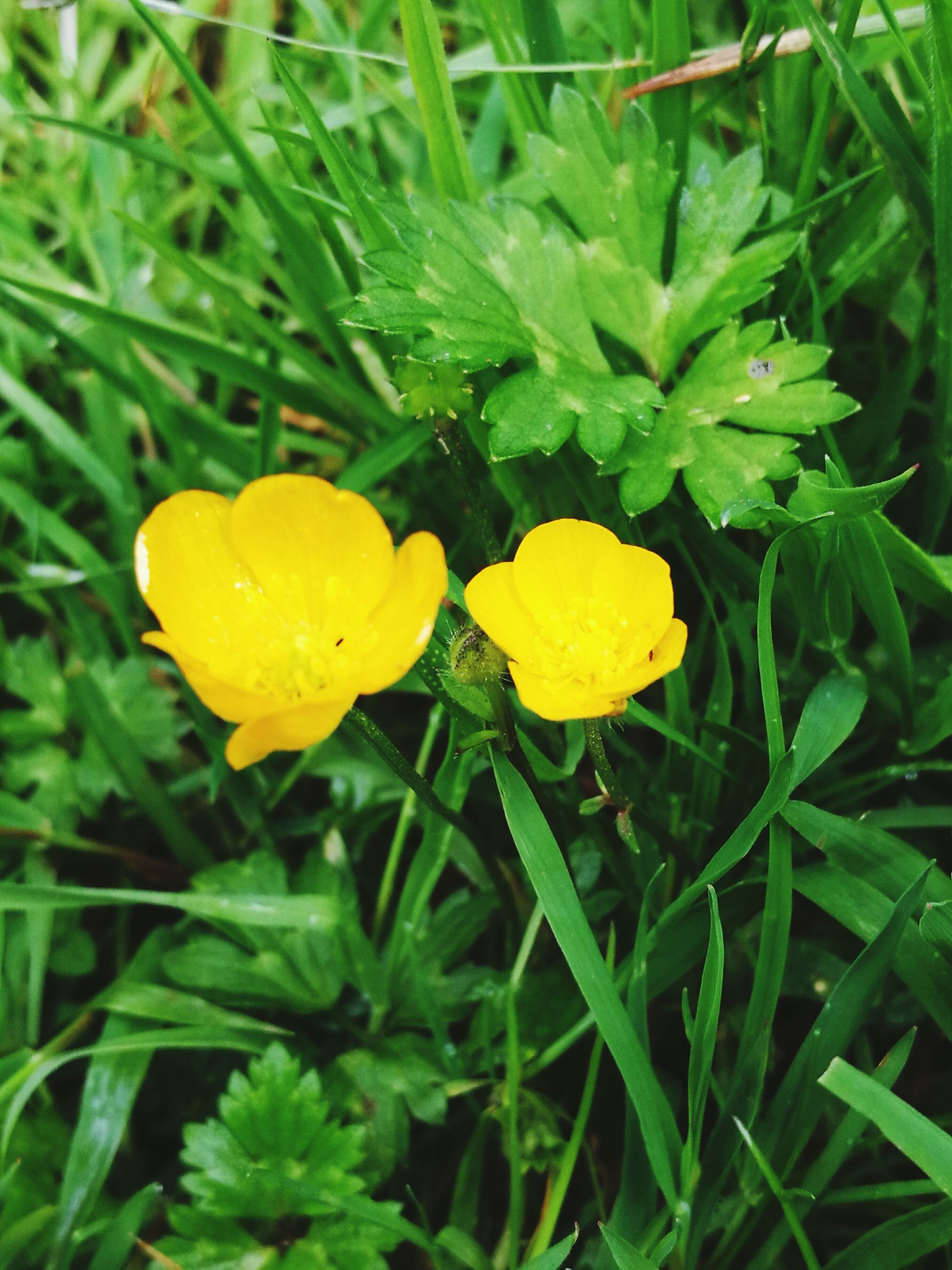 yellow, flower, freshness, fragility, petal, growth, flower head, beauty in nature, nature, close-up, plant, green color, drop, blooming, field, leaf, wet, grass, high angle view, in bloom
