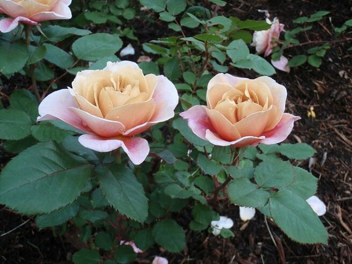 Roses, galore.