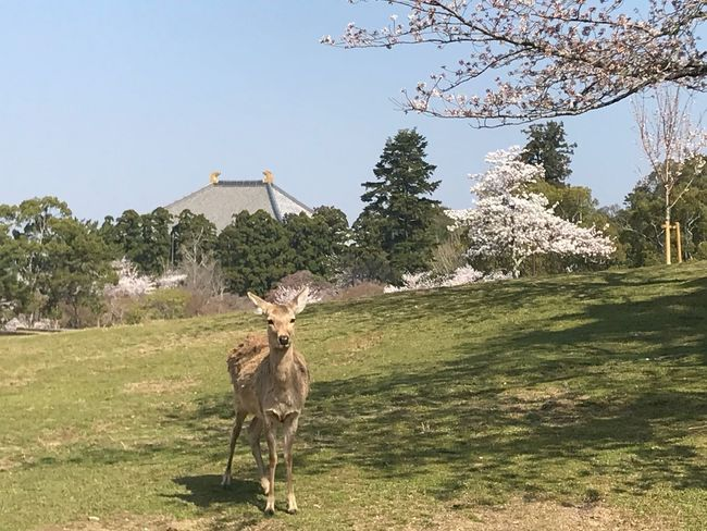 奈良らしい風景 Sakura Trees Temple Deer Nara Park