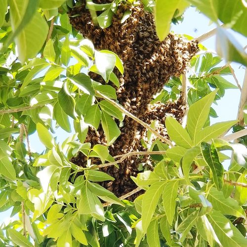 Bee Swarm Bees Tree Leaf Sunlight Close-up Plant Animal Themes Green Color