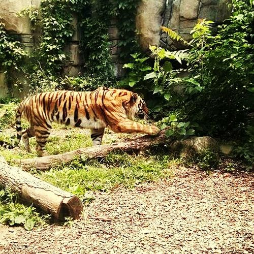 Tiger One Animal Animals In The WildFeline Nature Animal Themes No People Outdoors Animal Themes Tree No People Tiger Animals In The Wild One Animal Nature Relaxation Outdoors Mammal Feline Day Grass Muscles