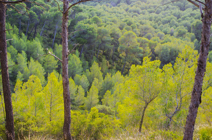 Trees WoodLand Beauty In Nature Close-up Day Forest Geeen Golden Hour Green Color Growth Landscape Lush Foliage Mountain Nature No People Outdoors Pine Tree Scenics Tranquility Tree WoodLand Alcudia Alcudia Alcudia