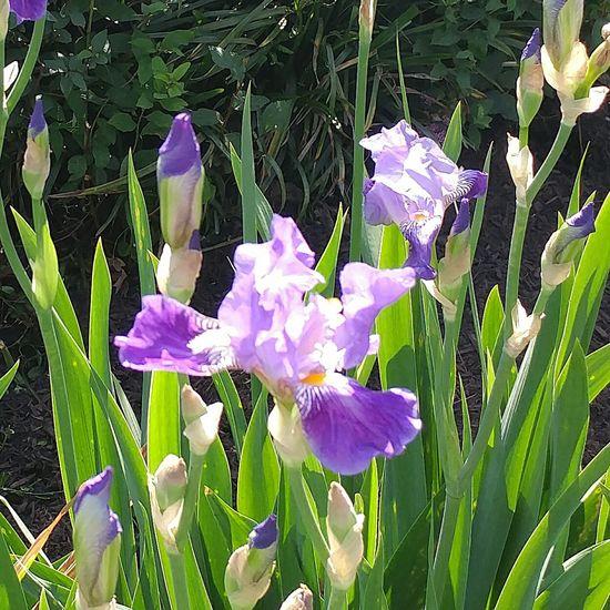 Irises Montclair NJ