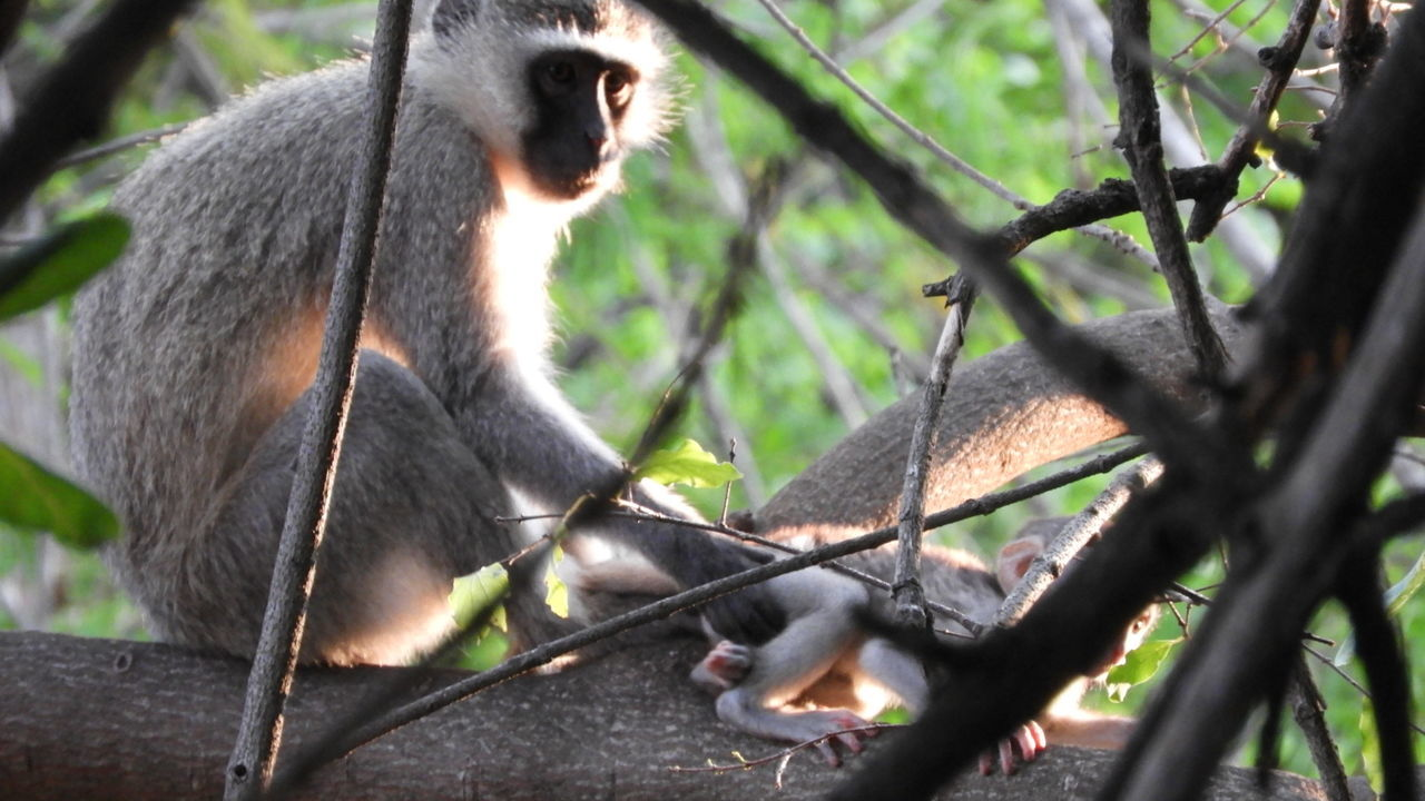 one animal, animals in the wild, animal themes, mammal, monkey, animal wildlife, day, no people, tree, outdoors, nature, branch, close-up