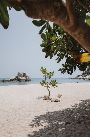 small tree on the beach in Koh Tao, Thailand Water Plant Tree Sea Nature Beach Sky Land Beauty In Nature Growth Tranquility Day Leaf Scenics - Nature Sand Tranquil Scene Plant Part Branch Outdoors No People Horizon Over Water Tree Growing Plants Growing Tourist Attraction  Tourism Tourist Destination Beach Life