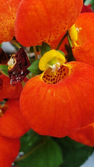 Close-up of orange water drops on red flower