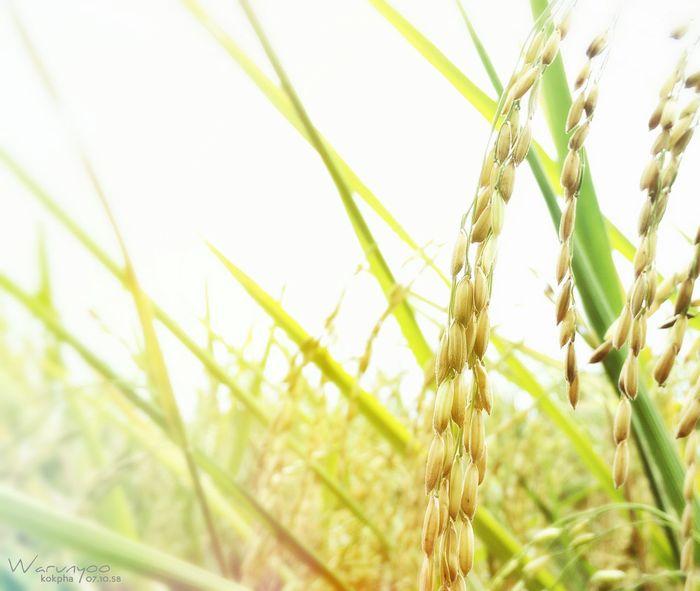 Thai Rice Seed Ricefield Nature Farm Farm Life Taking Photos Aggies Aggielife Aggieland  Aggie