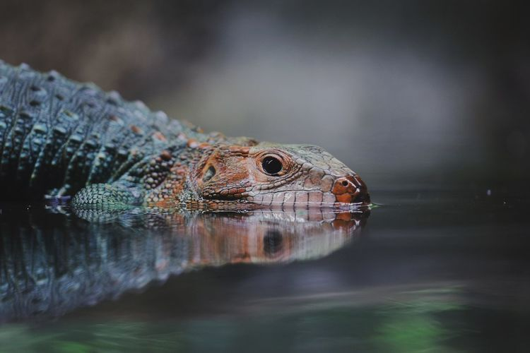 Close-up of lizard on a lake