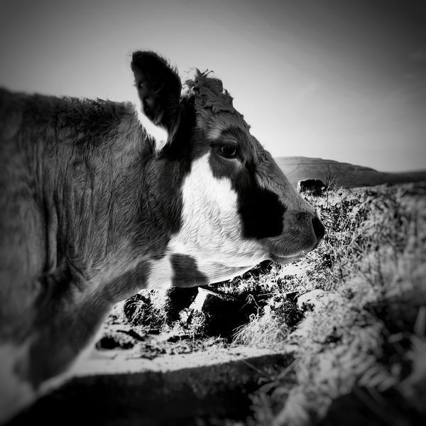 Cow Animal Rural Scene Outdoors Landscapes Ireland Black And White Black & White Agriculture Animal Portrait Animals Close-up Abbey Hill