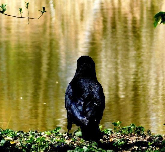Black bird on a lake
