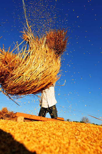 paddy worker Agriculture Blue Cereal Plant Clear Sky Crop  Day Farm Farmer Field Hairstyle Land Landscape Lifestyles Nature One Person Outdoors Plant Real People Rural Scene Sky Sunlight