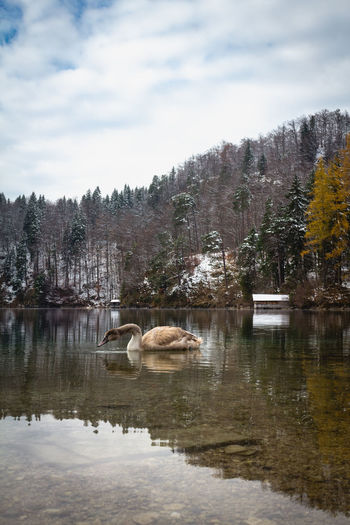 Beautiful scene of young swan (lat. Cygnus olor) on the Alpsee lake in Bavaria with views of the Alps in the winter Water Lake Animal Animal Themes Sky Reflection Group Of Animals Waterfront Animal Wildlife Nature Vertebrate Beauty In Nature Day Animals In The Wild No People Cloud - Sky Scenics - Nature Outdoors Lake View Swan Swans Swans ❤ Swans On The Lake Romantic Landscape My Best Photo