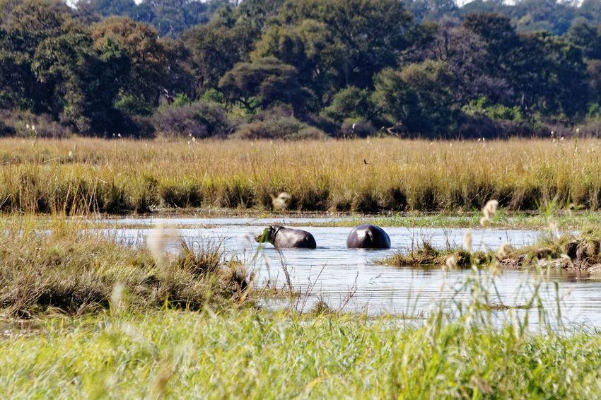 Hippos in marshlands of okovango Hippos Hippopotamus Hippos In The Water Okovango Okovango River Cubango River Namibia Africa Caprivi EyeEm Selects Water Tree Lake Grass Plant Marsh Wetland