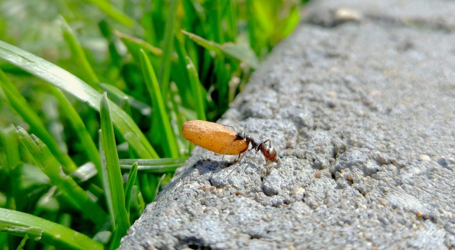 Heave. Taking Photos Small Things Bugs Mothernature EyeEm Nature Lover Yeg Outside Enjoying Life Perspective Sunnymorning Close-up Ant Photography Mother Nature Dinner Time