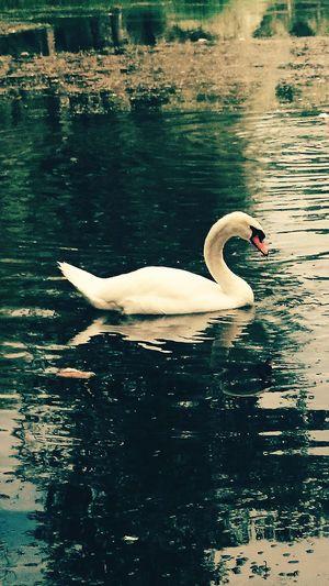 Taking Photos Enjoying Life On The Road Photooftheday France Nature On Your Doorstep Lake Swans Flying Hi!