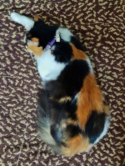 Resting Nap Cat