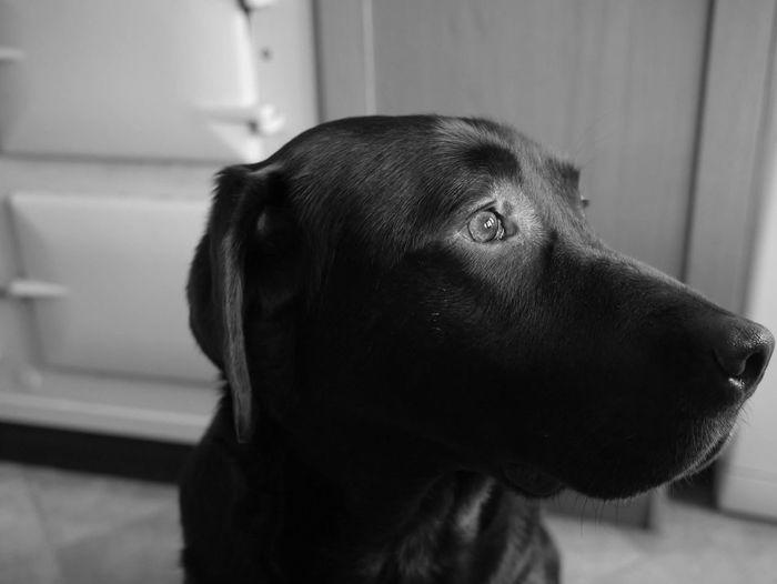 Labrador Portrait Dog Pet Highlight Light Blackandwhite Black And White Black & White Monochrome Looking Sideways