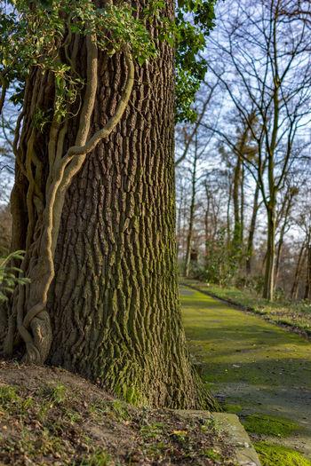 Weg Baumstamm Efeu Auf Stamm Grün Park