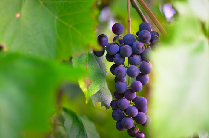 Bunch of grapes Autumn Shchigry Agriculture Beauty In Nature Bunch Close-up Day Food And Drink Freshness Fruit Grape Green Color Growth Hanging Leaf Nature No People Outdoors Plant Purple Vine - Plant Vineyard Wine Winemaking