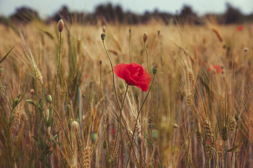 Nature EyeEm Nature Lover Nature_collection Flowers Red Enjoying The Sun Enjoying Life OpenEdit Popular Photos Poppy