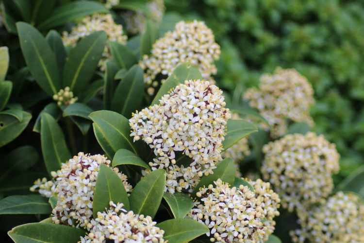 Flowering Skimmia Plant Flowering Plant Flower Beauty In Nature Growth Leaf Vulnerability  Plant Part Green Color Nature Close-up No People Day Botany