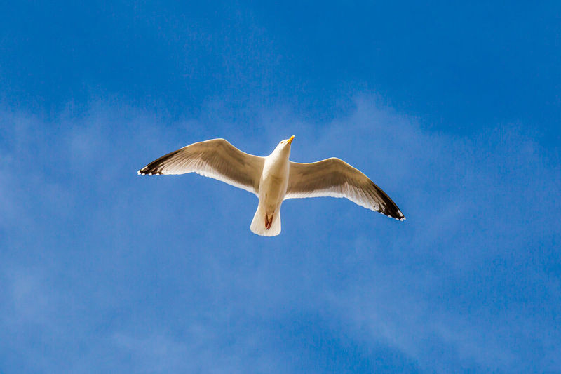 A Seagull in flight with a blue sky overhead Animal Animal Themes Animal Wildlife Animals In The Wild Bird Blue Cloud - Sky Day Flying Journey Low Angle View Mid-air Motion Nature No People One Animal Outdoors Seagull Searching Sky Spread Wings