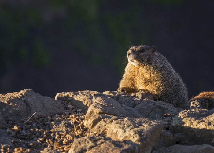 Lion looking away on rock
