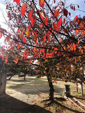 Autumn🍁🍁🍁 Japan Photography IPhone Streetphotography IPhoneX New Day Plant Tree Sunlight Nature Day No People Growth Built Structure Shadow Architecture Outdoors Branch Beauty In Nature Change Park Leaf Red Sky Autumn Tranquility