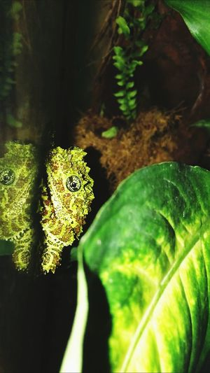 Awesome frog 😍 Moosfrog Moss Frog Frog Perspective Froggie Frog Eyes Froglove Awesomeanimal Loveanimals Ambhibian Terrarium🍀 Pet Photography  Reflections Camouflage Animals Camouflage Vietnamese