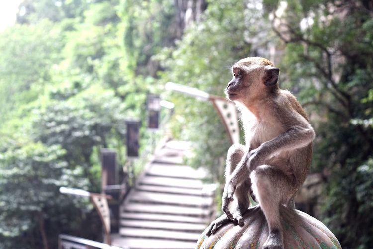Close-up of monkey at batu caves