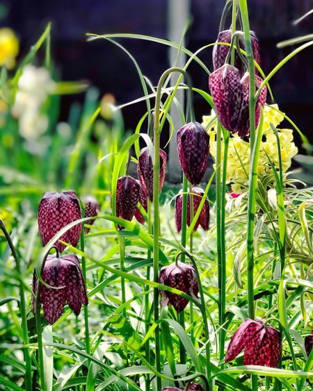 'Snake's Head' fritillary in bloom. Nature Growth Focus On Foreground No People Outdoors Day Beauty In Nature Close-up Plant Freshness Flowers Flower Head Snakes Head Frittallaria Blooming