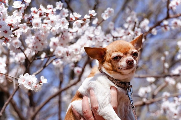 Portrait of dog against cherry blossom