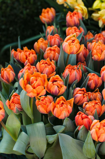 Tulips with large, bowl shaped bright orange blossoms with a purple flame at a market stall in Germany Bright Orange Tulips Beauty In Nature Colorful Flower Flower Head Fragility Freshness No People Triumph Tulips