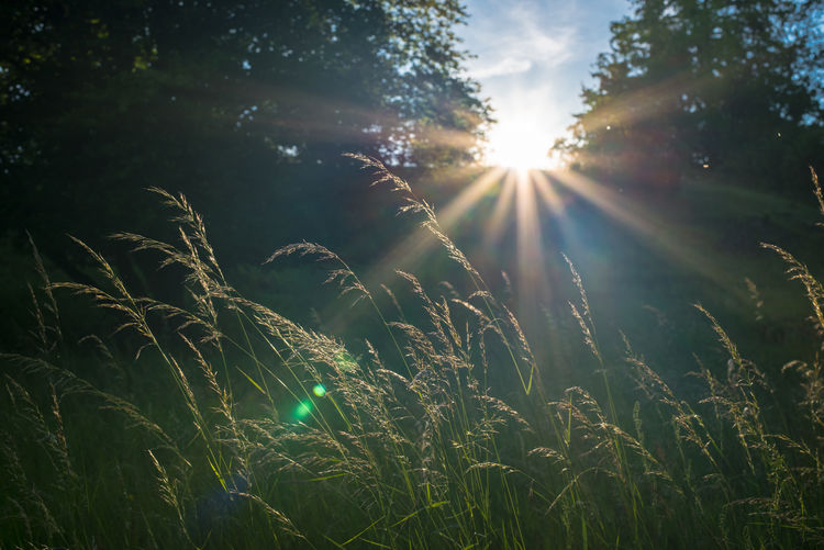 Sun through the trees seems great strong sunbeams make the grasses in the sun look golden. Lens Flare Plant Sky Sunbeam Sunlight Beauty In Nature Nature Sun Growth Tree Green Color Tranquility Land No People Outdoors Field Day Tranquil Scene Scenics - Nature Grass Bright Streaming Brightly Lit