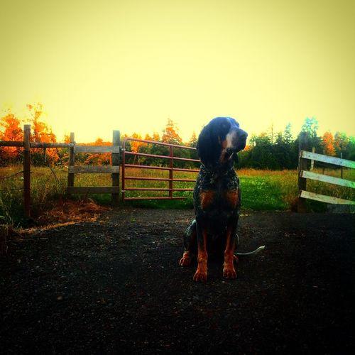 Women's best friend Dog Blue Tick Bluetick Coonhound Coonhound