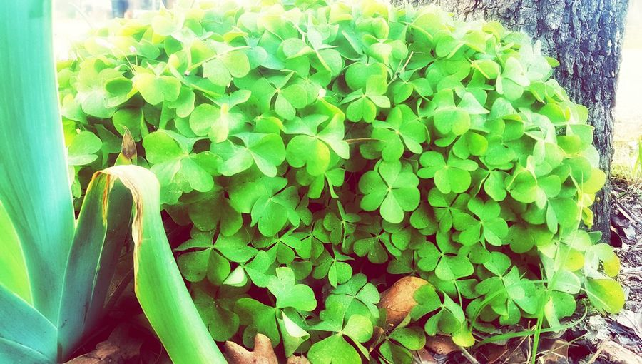 Bushel of clovers - Green Color Plant Growth Nature Leaf Beauty In Nature Close-up No People Fragility Freshness Day Water Flower Head Yard Flower Samsung Galaxy S6 Edge Samsungphotography Snapseed Editing  Mobile Photography Clover Blossom