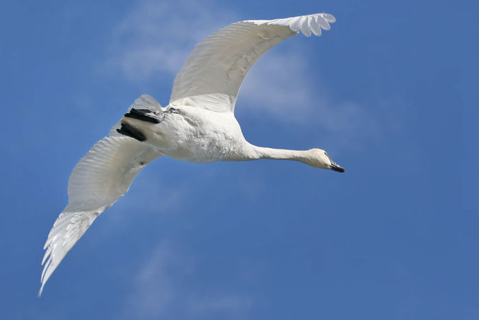 Trumpeter Swan Bird Day EyeEm Nature Lover Flying Freedom Low Angle View Nature No People One Animal Outdoors Spread Wings Trumpeter Swan White Color
