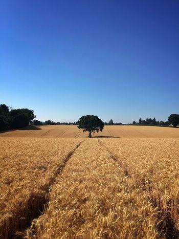 Golden fields Landscape Sky Tranquility Tranquil Scene Environment Field Blue Tree