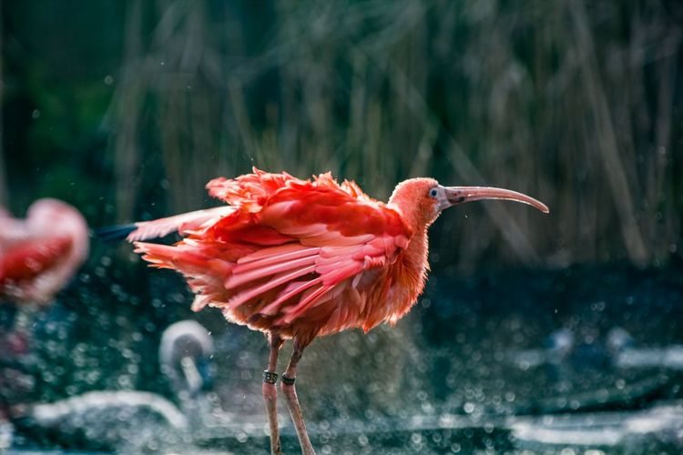 Flamingo Animal