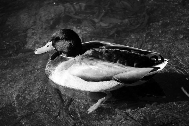 Duck Swimming Minimalobsession Lake Bird Photography Birds_collection Bnw EyeEm Nature Lover Blackandwhite Lakeside Water_collection Minimalism Woods Light And Shadow Minimalist Eyeeybestshots EyeEmBestPics Water Reflections Black And White Blackandwhite Photography Black&white Eye4photography  Taking Photos Portugal Showcase: February
